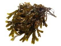 Alga marrom fresca - nutrição saudável fotos de stock royalty free