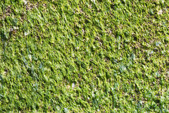 Alga molhada em uma superfície de metal Foto de Stock Royalty Free