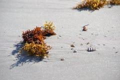 Alga na areia Fotos de Stock