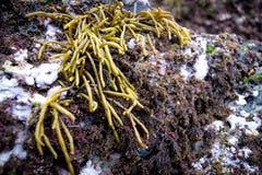 Alga na costa fotografia de stock royalty free