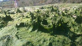 Alga na península do gower Fotos de Stock Royalty Free