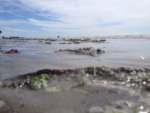Alga na praia Fotografia de Stock Royalty Free