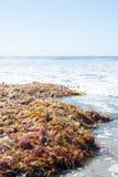 Alga na praia Fotos de Stock Royalty Free