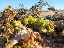 Alga na praia Imagens de Stock