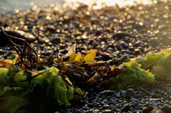 Alga na praia backlit pelo sol de ajuste, a faísca de seixos molhados atrás fotografia de stock royalty free