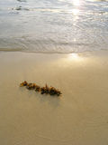 Alga na praia, por do sol Imagens de Stock