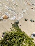 Alga no litoral foto de stock royalty free
