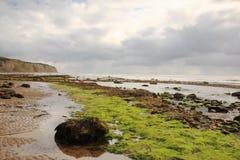 Alga no louro das capas do pisco de peito vermelho da praia Fotografia de Stock