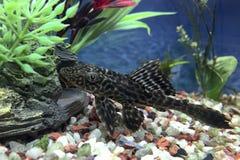 Alga odrosta ryba (aka Pleco) Zdjęcia Stock