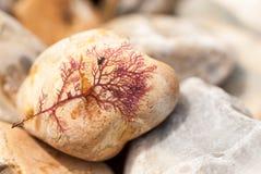 Alga porpora secca sul ciottolo Fotografia Stock