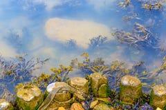 Alga que cresce no banco do rio Blyth em Southwold fotografia de stock