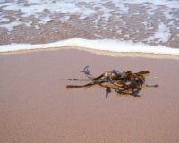 Alga sulla spiaggia Fotografia Stock Libera da Diritti