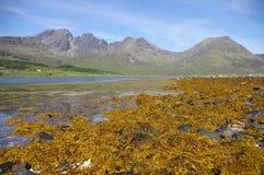 Alga sulla spiaggia Fotografia Stock