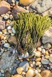 Alga sulle rive rocciose della baia del ` s di Gardiner, New York Immagini Stock