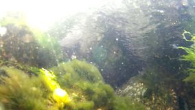 Alga, underwater view. In the Baltic Sea stock video footage