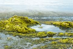 Alga verde no litoral conceito da ecologia e das catástrofes naturais fotos de stock