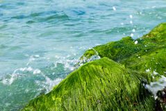 Algae Royalty Free Stock Images
