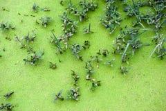 Algae Royalty Free Stock Image