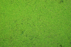 Algae. Green algae abstract texture background Stock Images