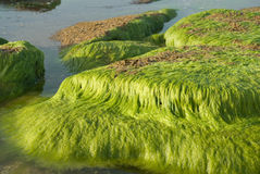 Algae. Seaweed on the stones on the Coast of Mediterranean sea in Israel stock image
