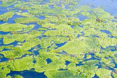 Algae Royalty Free Stock Photography