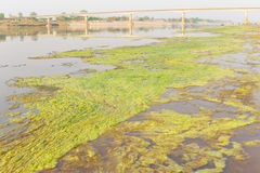 Algae along the Mekong River. Stock Images