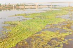 Algae along the Mekong River. Stock Images