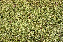 Algae background Stock Photography