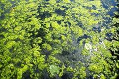 Algae bloom in lake. stock images