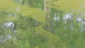 Algae blooms water green surface on the water pollution water nature and environmental with drift and flow at the edge of a lake i. N summer. Ecological disaster stock footage