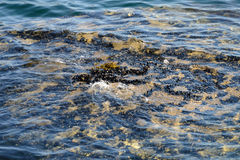 Algae in clear water in the rocky shore Stock Images