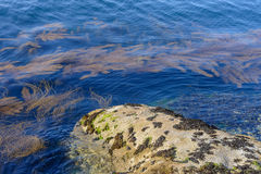 Algae in clear water in the rocky shore Royalty Free Stock Images