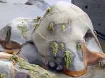 Algae covered seaside boulder. Close up of disintegrated seaside boulder covered with algae and coral snails Stock Images