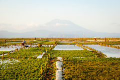 Algae farm field in Indonesia Stock Photography