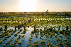 Algae farm field in Indonesia Royalty Free Stock Photography