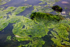Algae floating on water Stock Photos