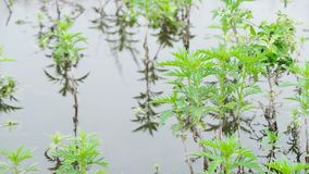 Green Plants in the Swamp. Algae flowing down a canal Green Plants in the Swamp stock video footage