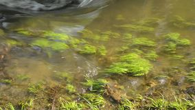 Algae and grass in the streambed in the spring stock video