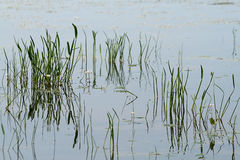 Algae and grass in water Royalty Free Stock Photos