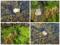 Algae and jellyfish in the shallow water Royalty Free Stock Photo