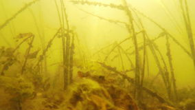 Algae on the lake bed. Algae move under water at the bottom of the lake stock footage