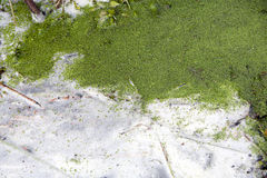 Algae Royalty Free Stock Photography