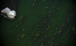 The algae leaves wriggle in a green river. Stock Image