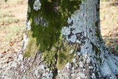 Algae, Lichens, and Mosses on a Tree Trunk Stock Images
