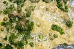 Algae from Mediterranean, green seaweed Stock Photography