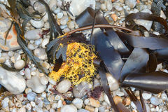 Algae, moss and stones. Algae moss and stones on the beach Royalty Free Stock Photos