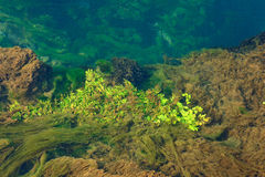 Algae. And other vegetation floating on water Royalty Free Stock Images
