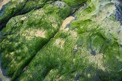 Algae pellets on the rock. Algae pellets on the rocks at the seaside Royalty Free Stock Image
