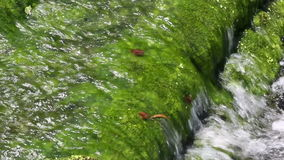 Algae plant. In the river stock footage