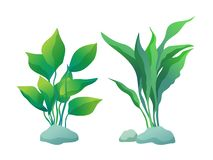 Algae Plants with Deltoid and Wedge Shaped Leaves. Algae plant with deltoid and wedge-shaped leaves. Vector illustration set isolated on white for informative royalty free illustration